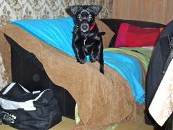 Patmol, chien Labrador Retriever