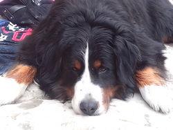 Pato, chien Bouvier bernois