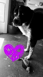 Pato, chien Border Collie