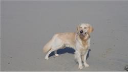 Patoche, chien Golden Retriever