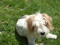 Patou, chien Fox-Terrier