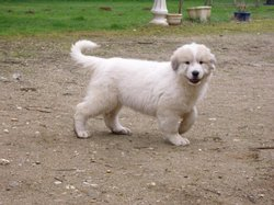 Patou, chien Chien de montagne des Pyrénées