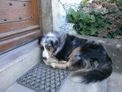 Patou, chien Berger allemand