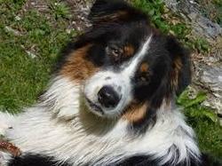 Patoune, chien Berger australien