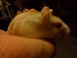 Patrik, rongeur Hamster