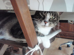 Patteblanches, chat