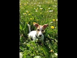 Pattone, chien Jack Russell Terrier