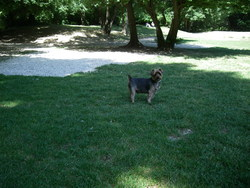Patxi, chien Yorkshire Terrier