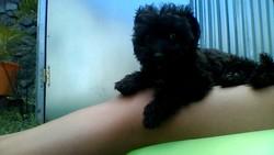 Pauline, chien Caniche