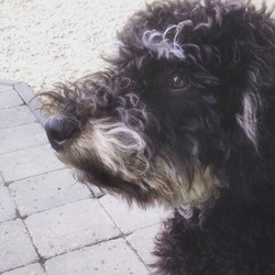 Pavel, chien