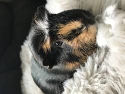 Pax, rongeur Cochon d'Inde