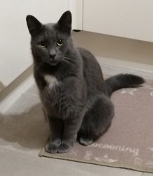 Peach, chat Chartreux