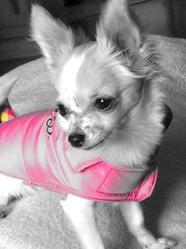 Peach, chien Chihuahua
