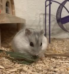 Peaky, rongeur Hamster