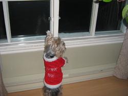 Peanut, chien Yorkshire Terrier