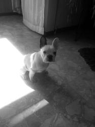 Pearl, chien Bouledogue français