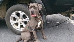 Pearl, chien Cane Corso