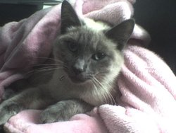Pearl, chat Siamois