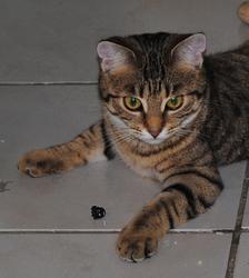 Pêche, chat Bengal