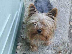 Pechou, chien Yorkshire Terrier
