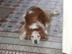 Pedro Dcd, chien Épagneul breton