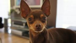 Pedro, chien Pinscher