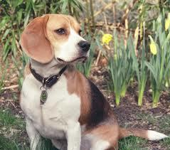Pedroo, chien