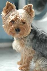 Peewee, chien Yorkshire Terrier