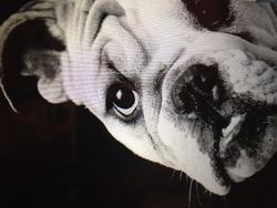 Peggy, chien Bulldog