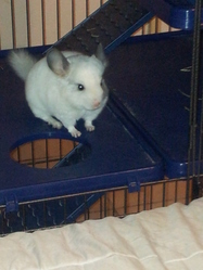 Peggy, rongeur Chinchilla