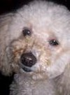 Peggy, chien Caniche