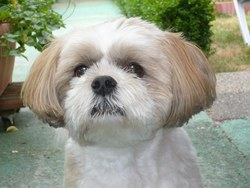 Goyave , chien Lhassa Apso