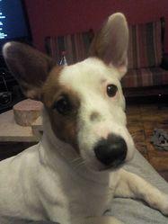 Peket, chien Jack Russell Terrier