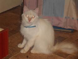 Pellote , chat Persan