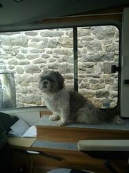 Pelochon, chien Shih Tzu