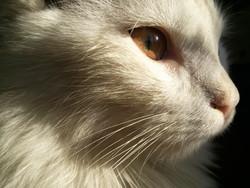 Peluche, chat Angora turc