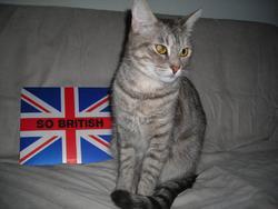 Peluche, chat Européen