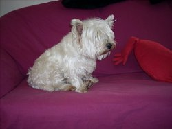 Peluche, chien West Highland White Terrier
