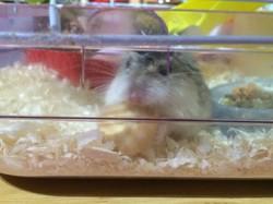 Peludin, rongeur Hamster