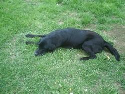 Pénélope, chien Labrador Retriever