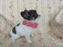 Penelope, chien Chihuahua