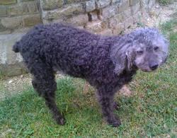 Penelope, chien Caniche