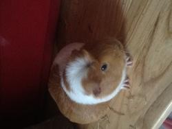Penelope, rongeur Cochon d'Inde