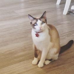 Pénélope, chat Siamois
