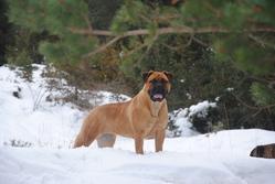 Penelope De Mieres Del Camino, chien Bullmastiff