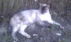 Pénéloppe, chat Siamois