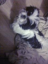 Pennshi, chien Shih Tzu