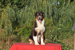 Penny, chien Berger australien