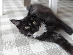 Penny, chat Maine Coon