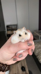 Penny, rongeur Hamster